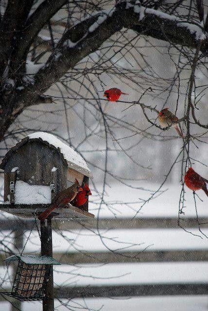 Cardinal birds winter snow