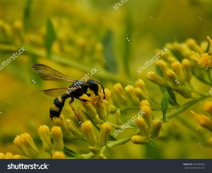 Wasp On Yellow Flowers Close-Up. Selective Focus Stock Photo 461985958 : Shutterstock