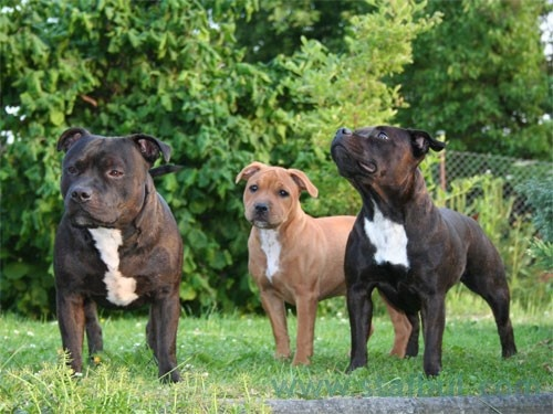 Pitbulls Fall Wallpaper 148 Best English Staffordshire Dogs Staffies Images On