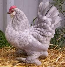 Belgian D'Uccle Chickens - Google Search