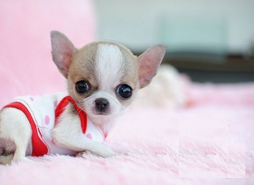 mini mini toy chihuahua