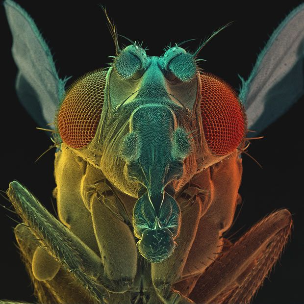 Coloured scanning electron micrograph (SEM) of a fruit fly