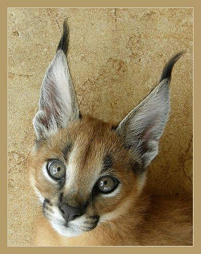 Wild Cats List With Pictures & Facts: All Types Of Wild Cats