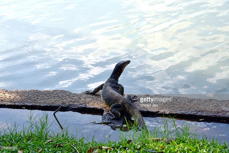 Monitor lizard at Lumpini Park in Bangkok, Thailand, Asia. #photo #photos #photograph #photography #getty #gettyimages #licence #moment #photographer