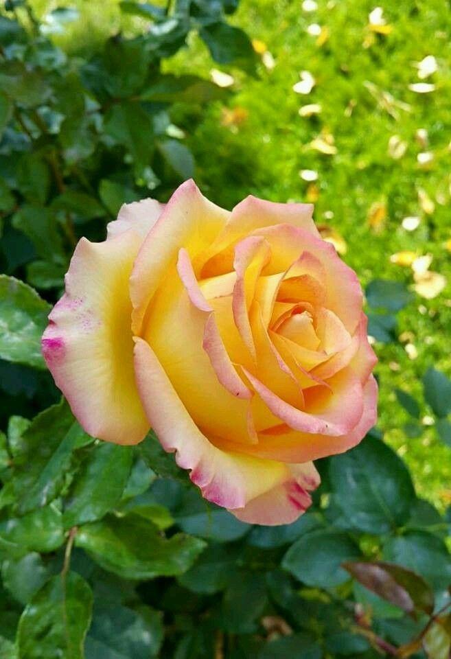 украинцев все желто розовые розы фото проанализировали