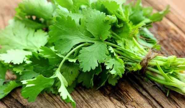 فوائد الكزبرة وأهم استخداماتها والفرق بين الكزبرة والبقدونس In 2020 Coriander Leaves Herbs Fresh Coriander