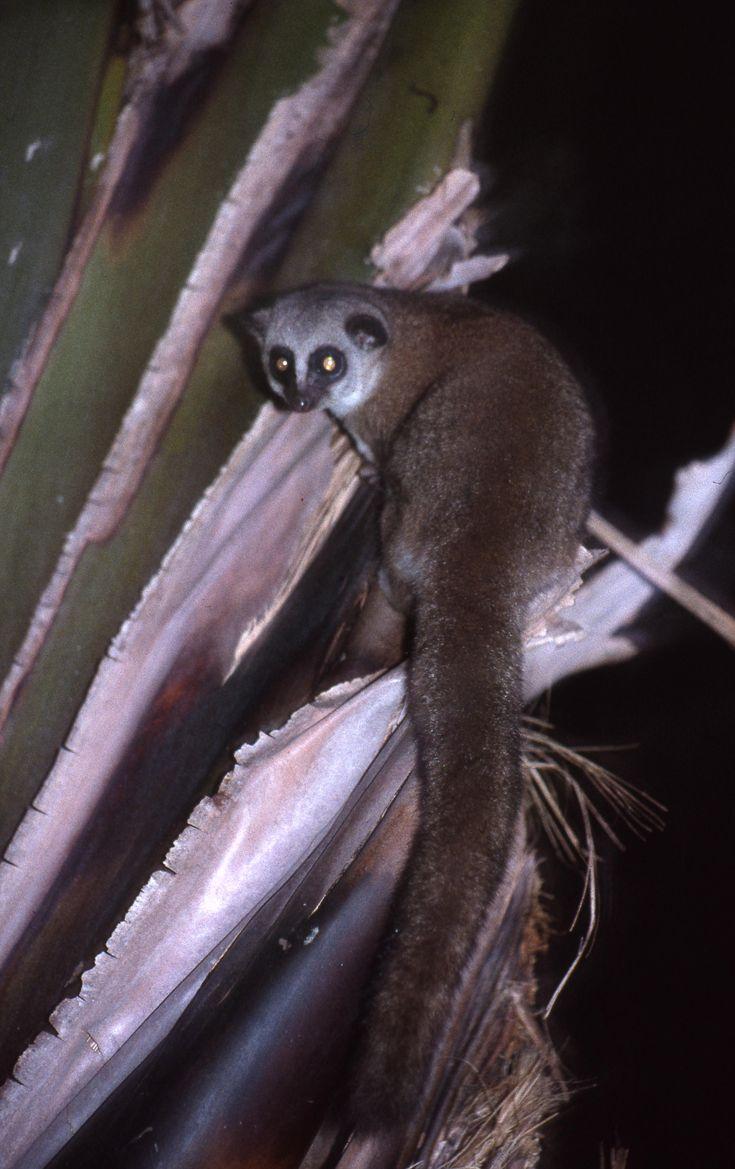 El lemur enano mayor (Cheirogaleus major) es una especie de lémur, como todas, endémica de Madagascar. Se encuentra ampliamente distribuida en los bosques primarios y secundarios de la costa este de la isla. No se encuentra en peligro de extinción. Su pelaje es gris, o marrón rojizo, con círculos oscuros alrededor de sus ojos. Hacia el fin de la temporada húmeda su cola engorda, pues acumula grasas para la temporada seca.