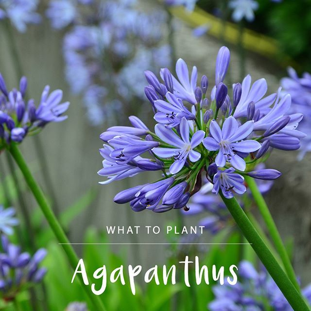 Agapanthus Are Gifts That Just Keeps Giving Plant In A Sunny Spot With Well Drained Soil And Enjoy These Flowers Every Ye Agapanthus Plants Garden Inspiration