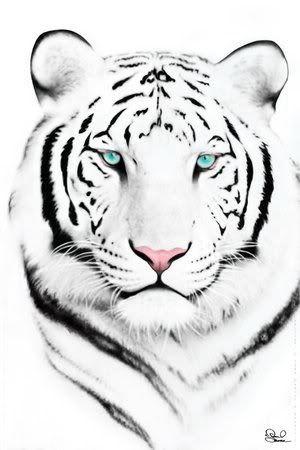 dessin tigre blanc (rétrogirl)