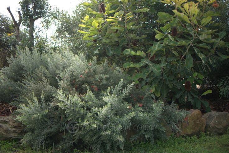 Banksia robur and Grevillea 'Seaspray'