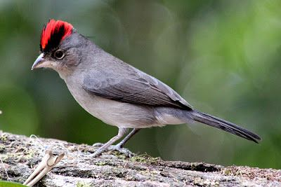 Tico tico rei cinza_coryphospingus pileatus Brazilian Birds