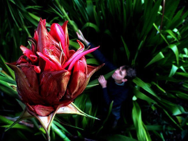 Gymea lilies are spectacular Australian native plants with large red flower heads atop a single stem stretching up to 6m.