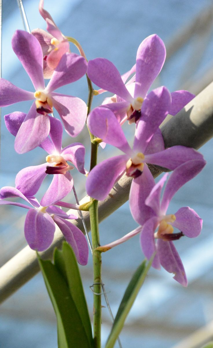 Thailand orchids (Wil 5861)