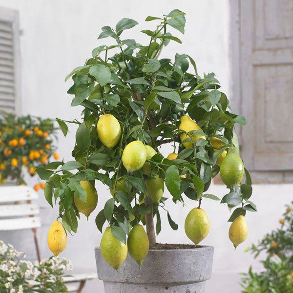 4ft Large Lemon Tree Citrus Limonum 12l Pot 77 99 Lemon Tree Mediterranean Plants Citrus Trees