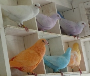 Homing Pigeons. Get white homers and dye pink/color palettes for special events.
