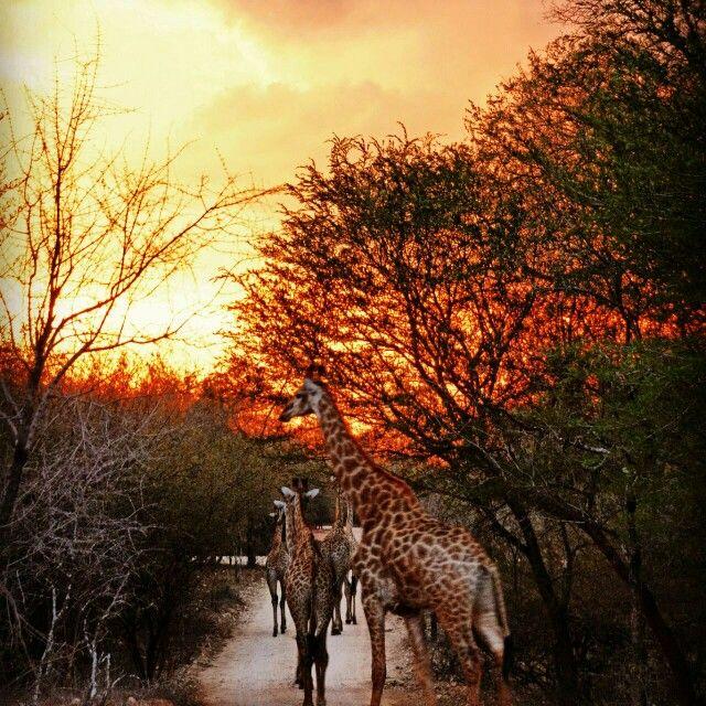 Giraffe @Honey Badger Safari House. MARLOTH PARK. Photo by Jonathan Couzens