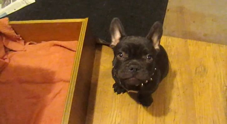 Adorable French Bulldog Puppy Argues Over Bedtime