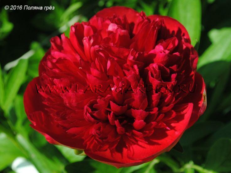 Купить пионы Command Performance (Hollingsworth, 1996), срок: EM-M, форма цветка: МБ, высота: 80, диаметр: 18