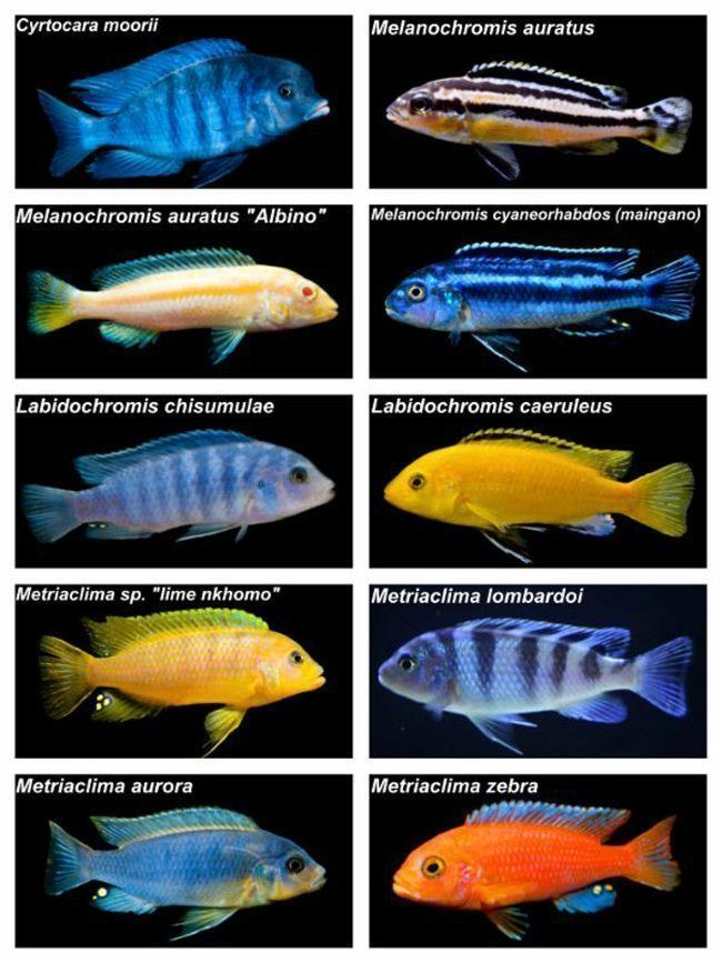 Find Out Why Thousands Of Freshwater Aquarium Enthusiasts Shop At Arizona Aquatic Gardens We Carry A Lar Freshwater Aquarium Cichlid Aquarium African Cichlids