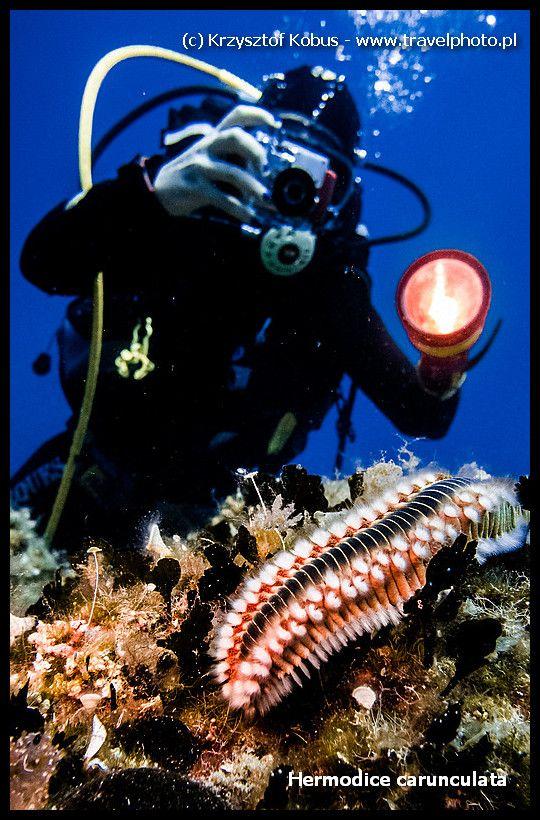 Diving in Croatia (Hvar Island) - Nereida (Hermodice carunculata) {nurkowanie w Chorwacji} #diving #croatia #Hvar