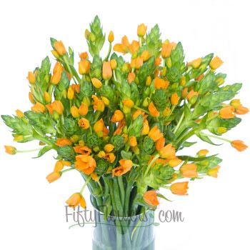 Ornithogalum Orange Flower    Ornithogalum Orange Flower is a unique flower in the Star of Bethlehem family. Cheerful tangerine orange blooms perch on top of lush green stems making this flower perfect for a birthday party, ladies tea or colorful wedding. Incredibly versatile, stems of this flower can be used as an accent to other focal flowers like tulips, day lilies, gerbera daisies and delphinium or simply arranged in bunches on their own. Beautifully bright and contrasting wonderfully…