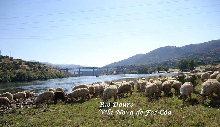 Rebanho de ovelhas junto ao rio Douro- Portugal