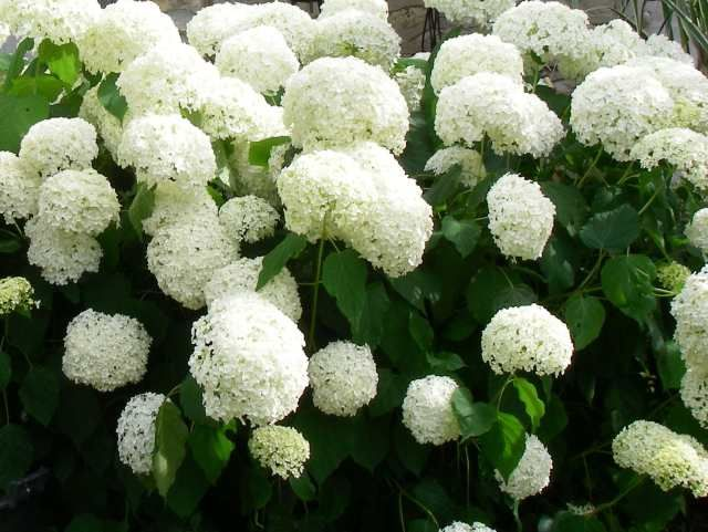 Hydrangea arborescens Annabelle  Position: full sun or partial shade  Flowering period: July to September    One of the loveliest hydrangeas, this has huge globes of tightly packed, creamy white bracts that look like giant snowballs in late summer. As autumn progresses, the blowsy flowerheads fade to pale lime and the dark green, pointed leaves turn soft yellow. It has an upright habit an...