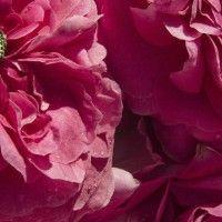 """La Rosa di Magliano è una piccola azienda agricola biologica certificata a conduzione familiare. Da quasi quindici anni coltiviamo rose per produrre sciroppi e conserve di petali: è la nostra attività principale, con un roseto di circa 400 piante di """"Rosa di Magliano"""". Ci sono anche olivi, qualche albero da frutta, in particolare mele cotogne …"""