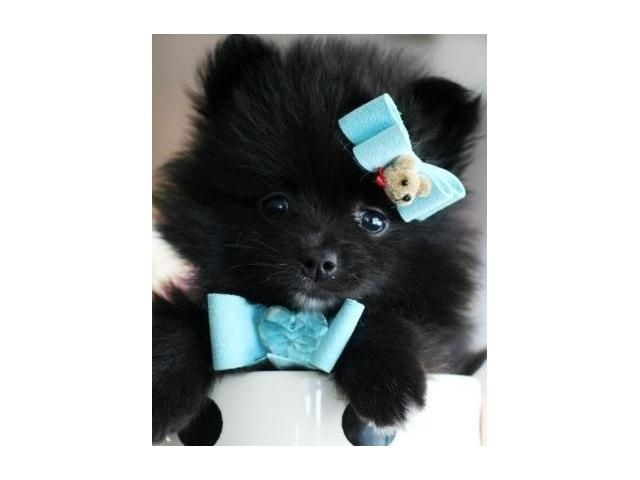 Pure Bred Tiny Teacup Pomeranian pup for Sale Randburg - Puppies