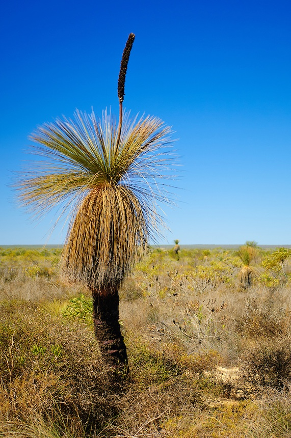 Stock photograph of a Western Blackboy (Xanthorrhoea preisii), a variety of Grass Tree, growing in the Outback of Western Australia in Kalbarri National Park. The long flower spike was used by Aborigines to produce fire by friction.