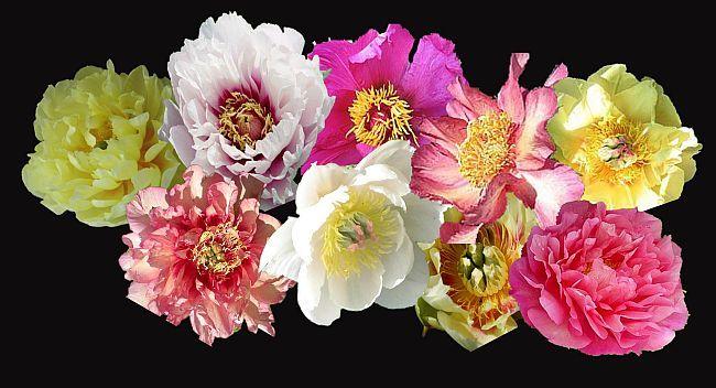 ITOH PEONIES at Peony Farm Nursery, all colors, varieties of these lovely vigorous and disease resistant peonies