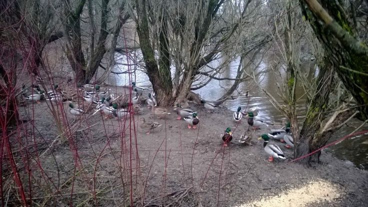 Ducks at Rauhalahti bay (the winter feeding moment)