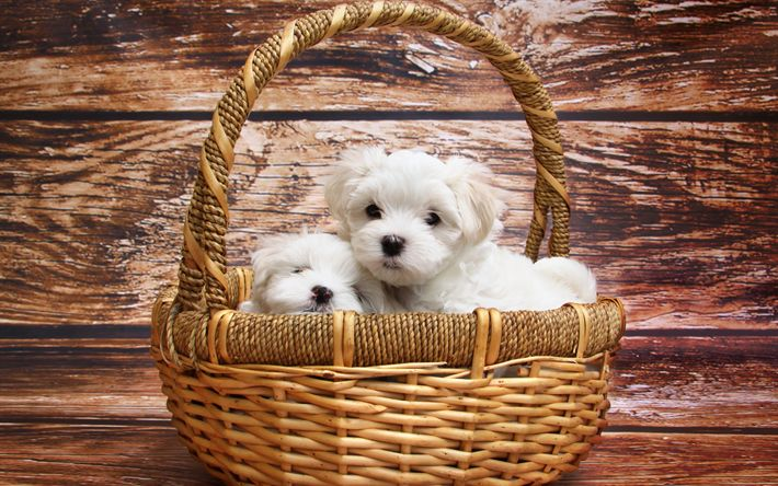 Download wallpapers Puppies, Maltese Dog Breed, Small dogs, white puppies, cute animals, dogs