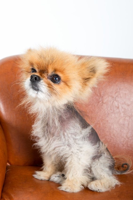 Alopecia or Hair Loss in Dogs Causes of Hair Loss in Dogs and What to Do About It