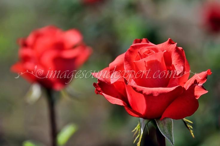 roses of love, rosen der liebe, roses de l'amour, trandafiri cu miros de iubire  www.imagesoundexpert.com