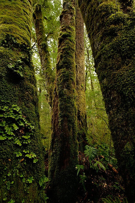 Stills Photo Tours, David Still - New Zealand, Moss laden trees in Fiordland