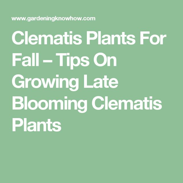 Clematis Plants For Fall – Tips On Growing Late Blooming Clematis Plants