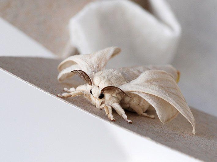 Mulberry Silk Poodle Moth Venezuelan Poodle Moth Cute Moth