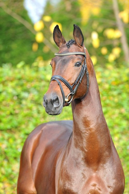 Chaman ~ Dutch Warmblood