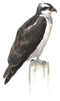 Osprey. Birds of North America Field Guide   Audubon