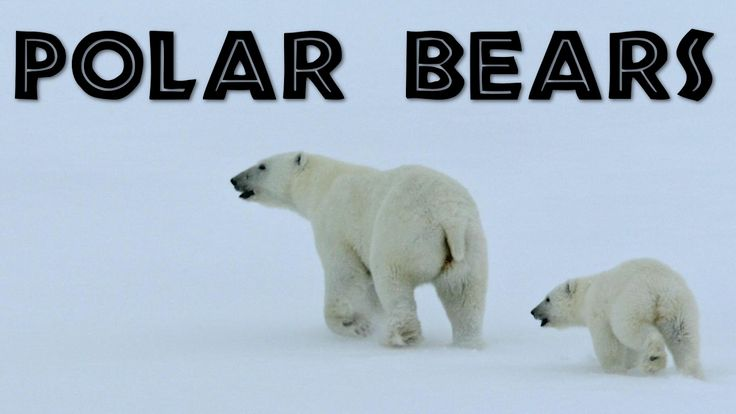 All About Polar Bears for Kids: Polar Bears for Children - FreeSchool