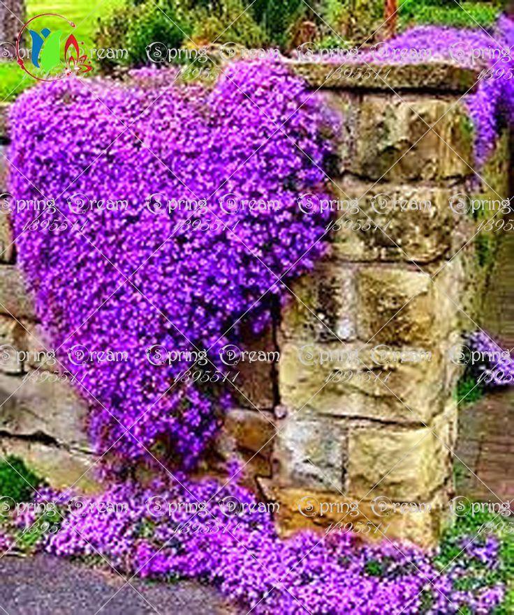 100/Rock Berro, Aubrieta Cascada Púrpura SEMILLAS de FLORES, Deer Resistente Excelente cubierta vegetal perenne, flores para el hogar jardín
