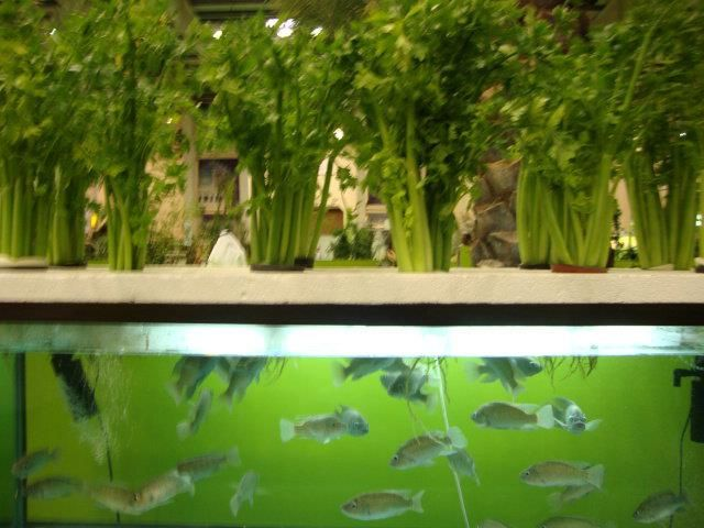Pumpless Aquaponics?  ... #Aquaponics #Hydroponics