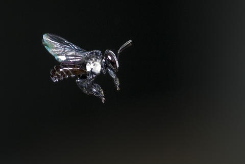 Shot of bee in flight - returning to hive photo ddwfauna