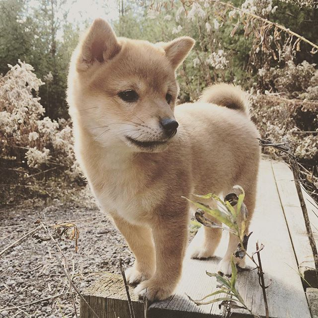 Hope everyone has a good day ☺️ - #shibainu #puppy #shibainupuppy #shibastagram