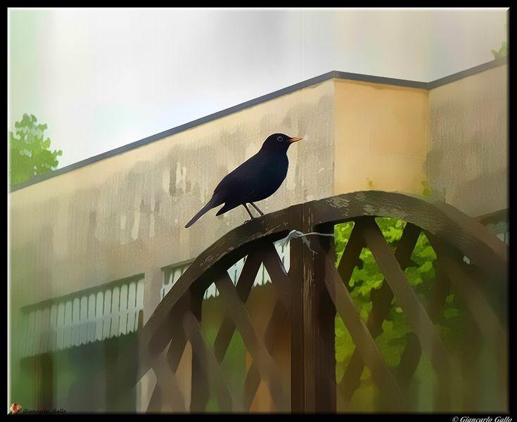 blackbird by Giancarlo Gallo