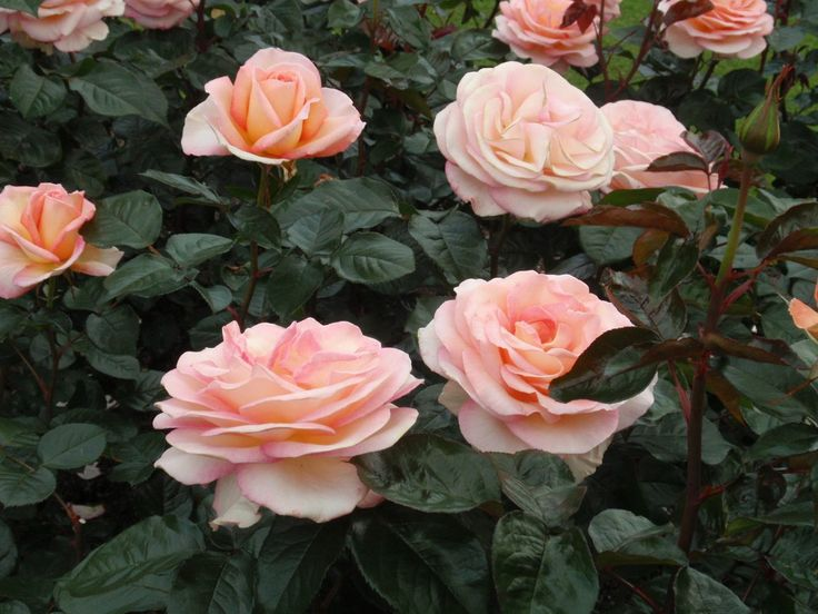 Rosa 'Hamilton Gardens', described and illustrated in the plant guide of my website http://www.aboutgardendesign.com