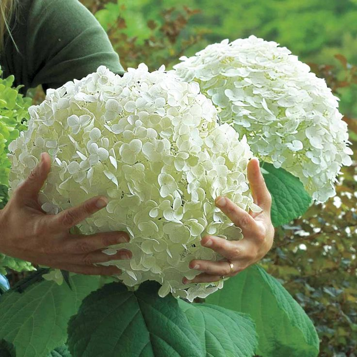 Hydrangea Arborescens 'Incrediball'.  That looks the size of a bowling ball!! wow I want one of those!
