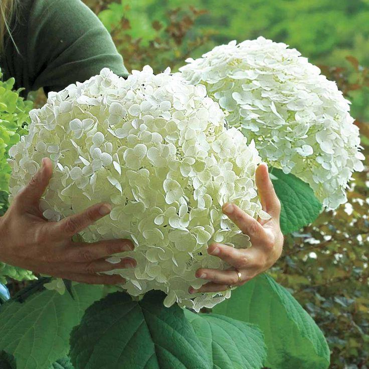 Hydrangea Arborescens 'Incrediball'.