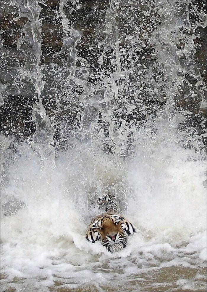 Tiger Dives from Waterfall for amazing adventure travel abroad visit http://www.adventuretravelshp.co.uk/